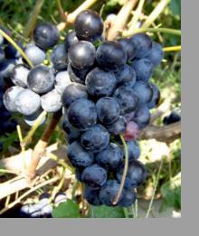 Виноград Бычий глаз - превосходный столовый урожайный сорт, обладающий