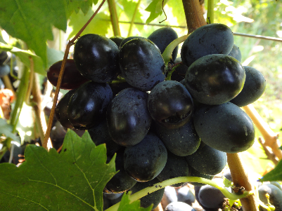 Осенний чёрный сорт винограда